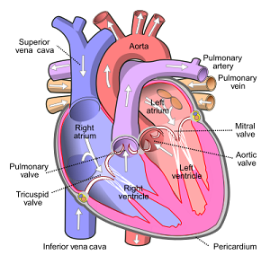 anatomy heart arteries and veins